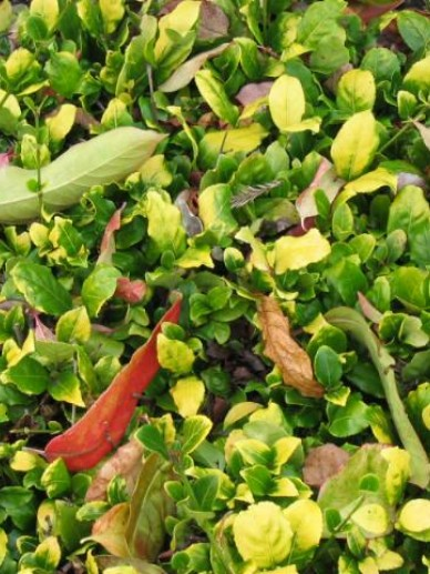 Euonymus aculeolus  - Kardinaalsmuts