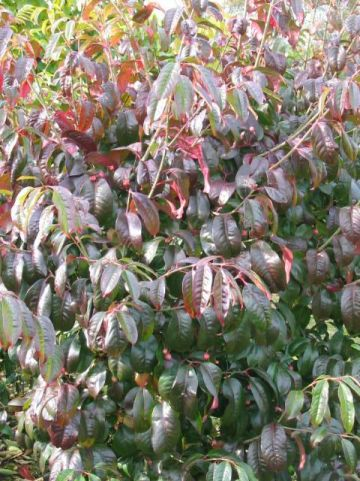 Euonymus carnosus  - Kardinaalsmuts