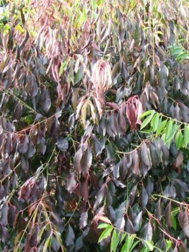 Euonymus carnosus 'Red Wine' - Kardinaalsmuts