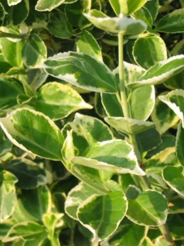 Euonymus fortunei 'Emerald Gaiety' - Bontbladige kardinaalshoed