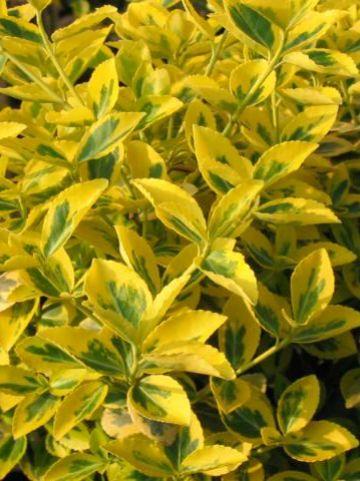 Euonymus fortunei 'Emerald'n Gold' - Bontbladige kardinaalshoed