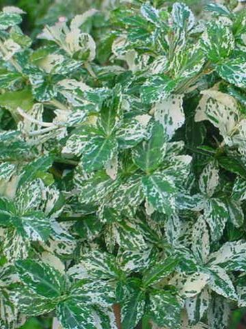 Euonymus fortunei 'Harlequin' - Kardinaalsmuts