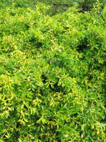 Euonymus fortunei 'Blondy' (='Interbolwi') - Kardinaalsmuts