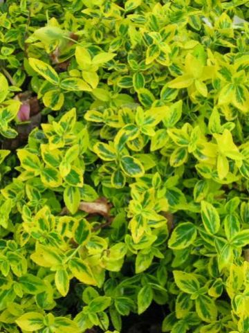 Euonymus fortunei 'Sunshine' - Kardinaalsmuts