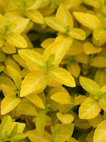 Euonymus fortunei 'Goldy' (='Waldbolwi') - Kardinaalsmuts