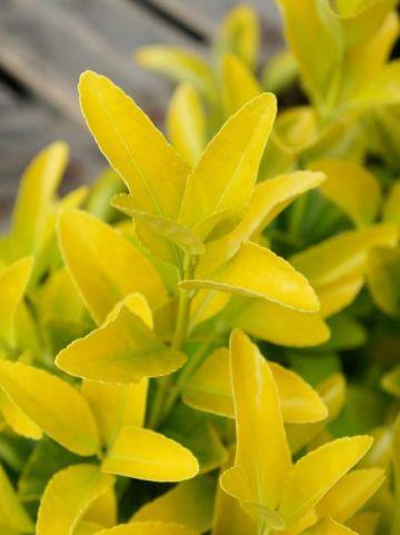 Euonymus japonicus 'El Dorado' (='BR2012') - Kardinaalsmuts