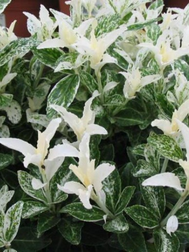 Euonymus japonicus 'Pierrolino' (='Heespierrolino') - Bontbladige kardinaalsmuts
