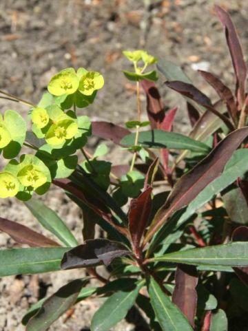 Euphorbia amygdaloides 'Purpurea' - Wolfsmelk