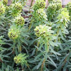 Euphorbia characias 'Black Pearl' - Wolfsmelk
