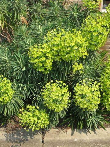 Euphorbia characias subsp. wulfenii - Wolfsmelk
