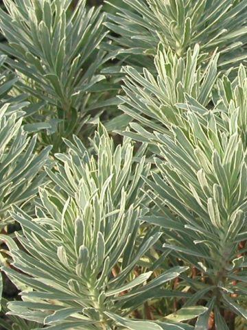 Euphorbia characias 'Silver Swan' (='Wilcott') - Bontbladige wolfsmelk