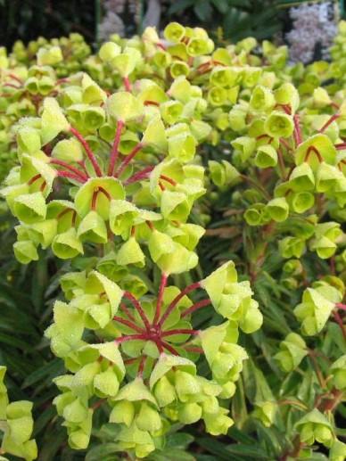 Euphorbia  'Redwing' (='Charam') - Wolfsmelk