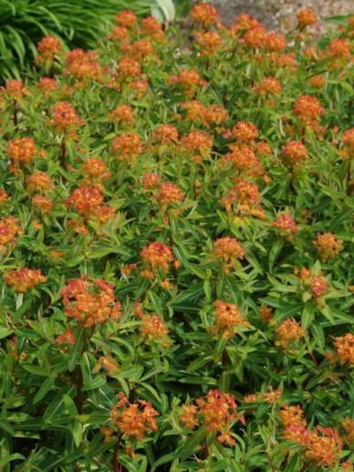 Euphorbia griffithii 'Dixter' - Wolfsmelk