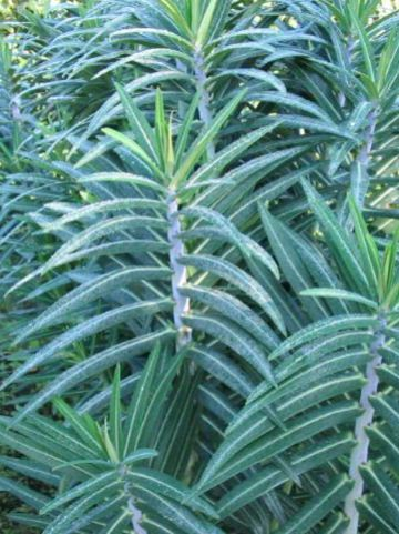 Euphorbia lathyris  - Kruisbladwolfsmelk , Mollenkruid