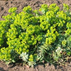 Euphorbia myrsinites - Wolfsmelk