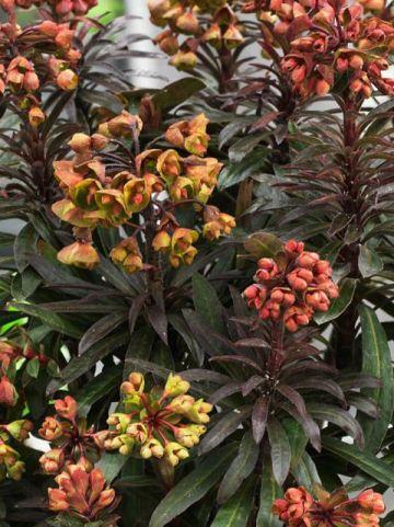 Euphorbia  'Blackbird' (='Nothowlee') - Wolfsmelk