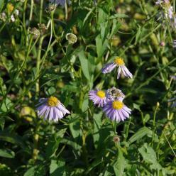 Eurybia spectabilis  - Aster