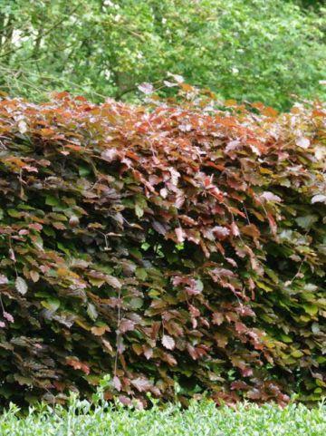 Fagus sylvatica 'Atropunicea' - Bruine beuk