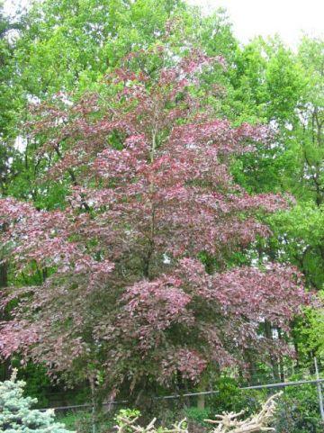 Fagus sylvatica 'Purpurea Tricolor' - Driekleurige beuk