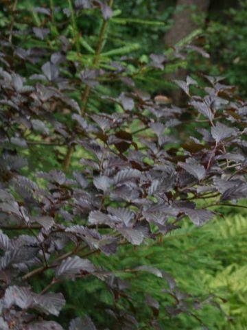 Fagus sylvatica 'Riversii' - Grootbladige bruine beuk