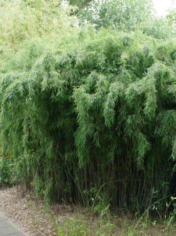 Fargesia  'Jiuzhaigou 1' - Fijne bamboe