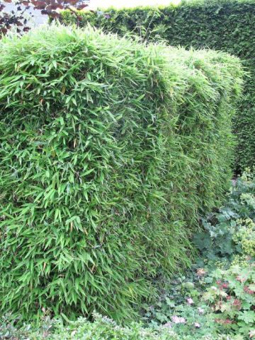 Fargesia murieliae  - Fijne bamboe