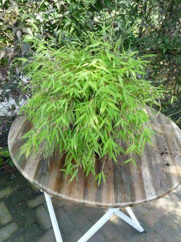 Fargesia murieliae 'Luca' - Fijne bamboe