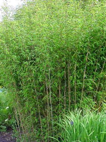 Fargesia nitida  - Fijne bamboe