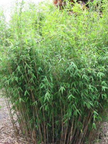 Fargesia nitida 'Eisenach' - Bamboe