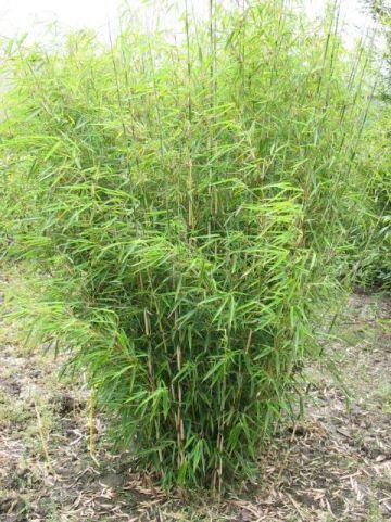 Fargesia robusta  - Bamboe