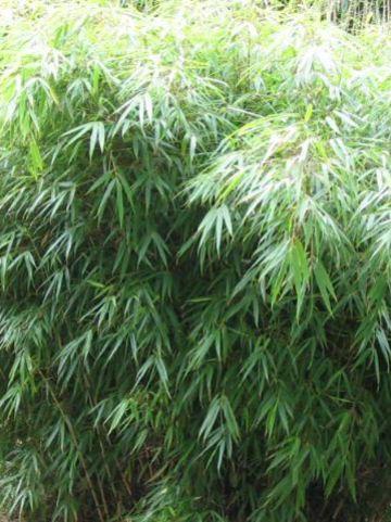 Fargesia rufa  - Bamboe
