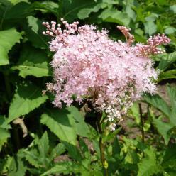 Filipendula rubra 'Venusta' - Moerasspirea