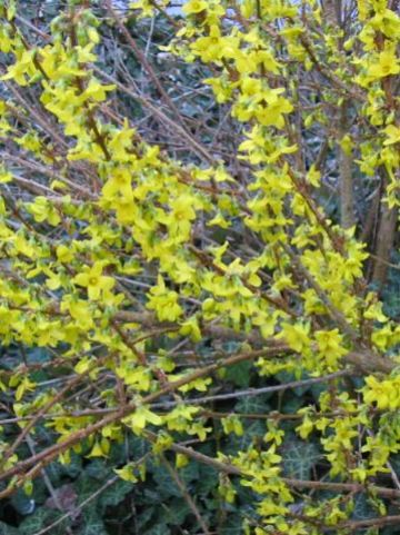 Forsythia × intermedia  'Week-End' (='Courtalyn') - Bloeiend hout , Chinees klokje