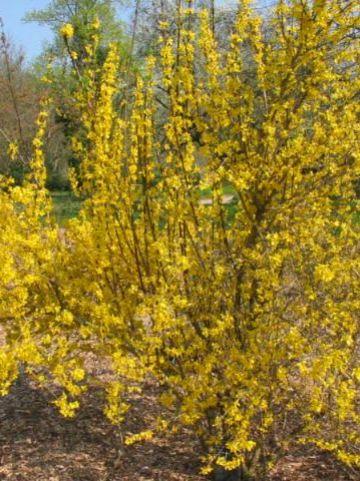 Forsythia × intermedia  'Minigold' (='Flojor') - Bloeiend hout , Chinees klokje