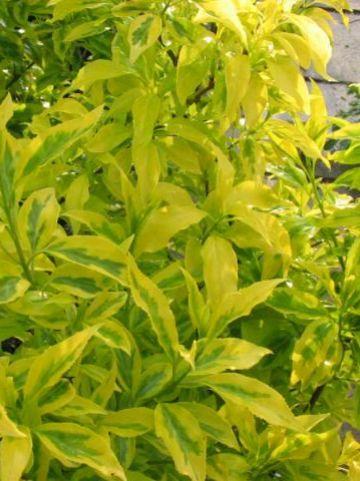 Forsythia × intermedia  'Golden Times' - Bloeiend hout , Chinees klokje