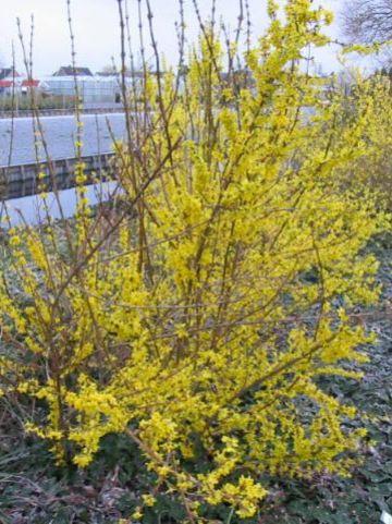Forsythia × intermedia  'Lynwood' - Bloeiend hout , Chinees klokje