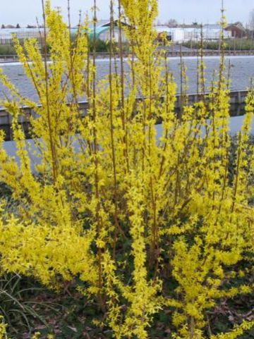 Forsythia × intermedia  'Spring Glory' - Bloeiend hout