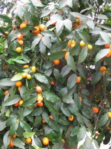 Fortunella japonica  - Kumquat