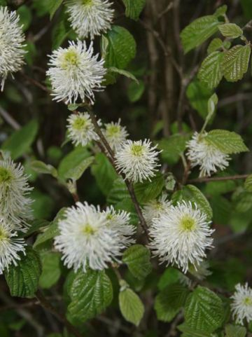 Fothergilla gardenii  - Flesseborstelplant