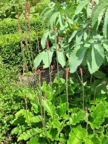 Francoa sonchifolia - /