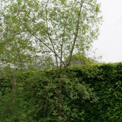 Frangula alnus  - Gewone vuilboom , Sporkehout