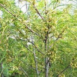 Frangula alnus 'Aspleniifolia' - Sporkehout , Fijnbladige vuilboom