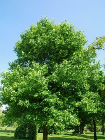 Fraxinus pennsylvanica  - Zachte es