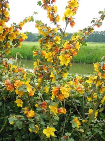 Fremontodendron  'California Glory' - Flanelstruik