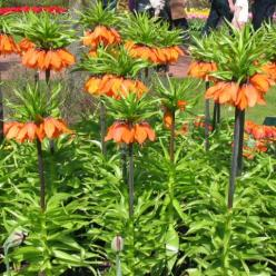 Fritillaria imperialis 'The Premier' - Keizerskroon