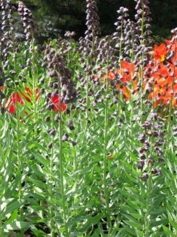 Frittelaria persica - Perzische keizerskroon