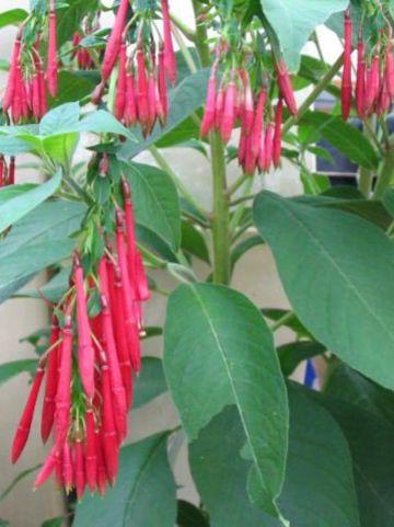 Fuchsia boliviana  - Bellenplant