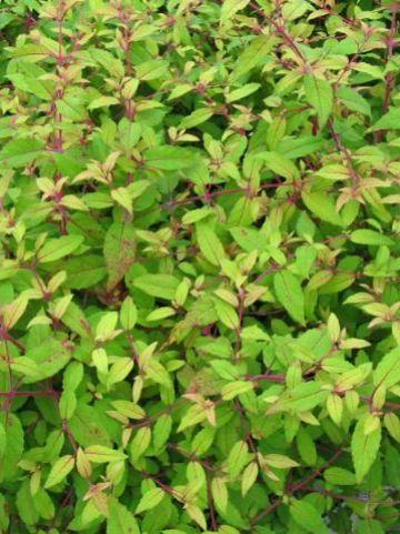 Fuchsia  'Genii' - Bellenplant