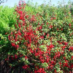 Fuchsia magellanica 'Riccartonii' - Bellenplant