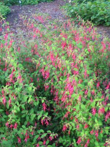 Fuchsia magellanica var. gracilis - Bellenplant, fuchsia